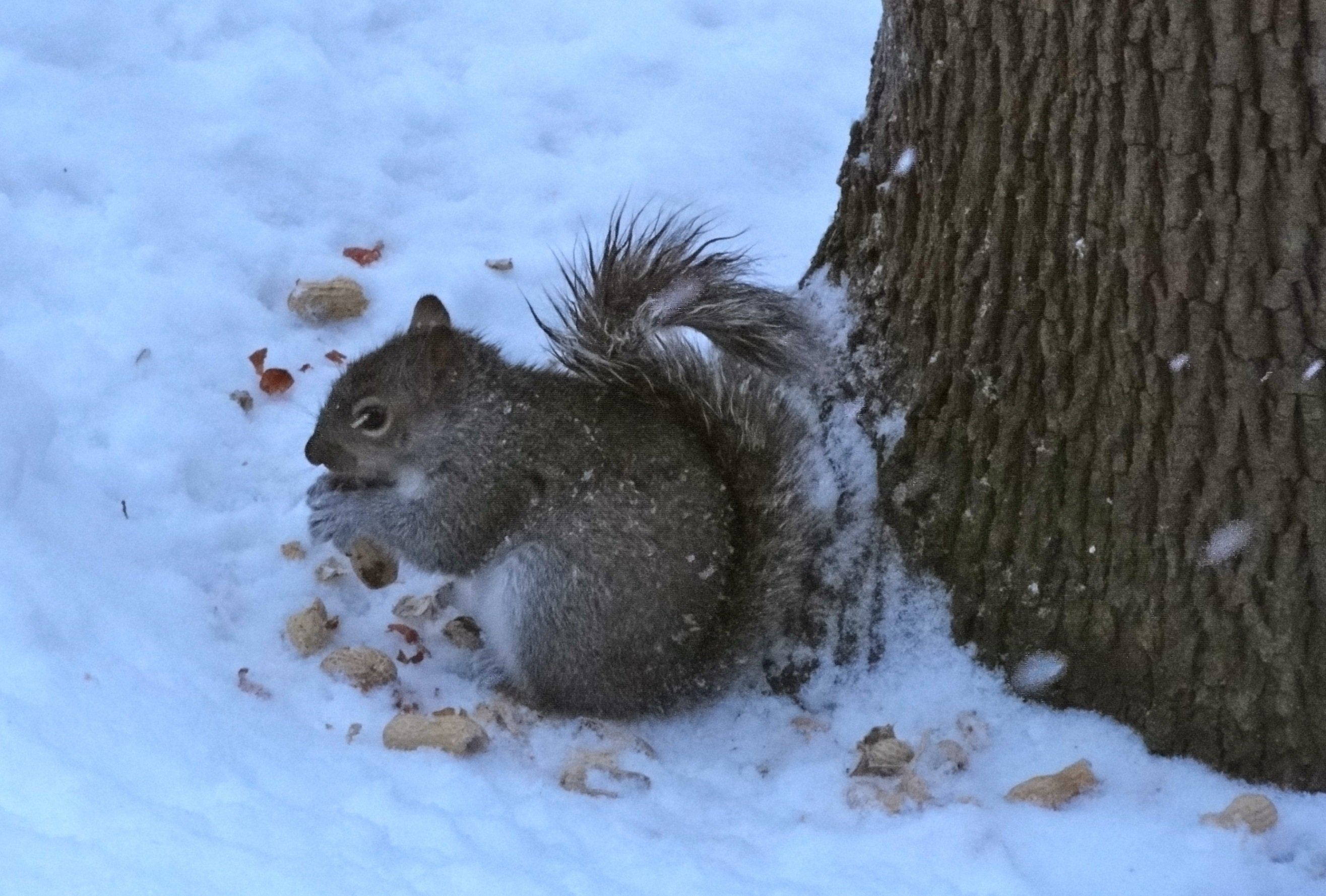 A grey squirrel eating nuts in snow