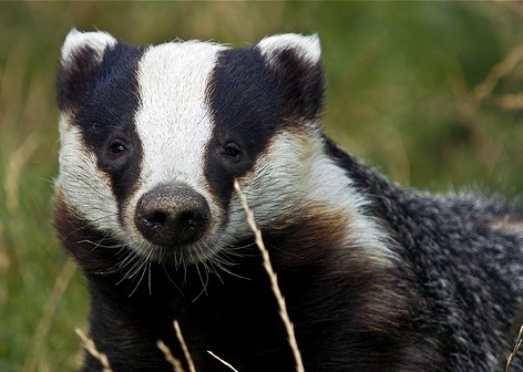 A badger in a green field