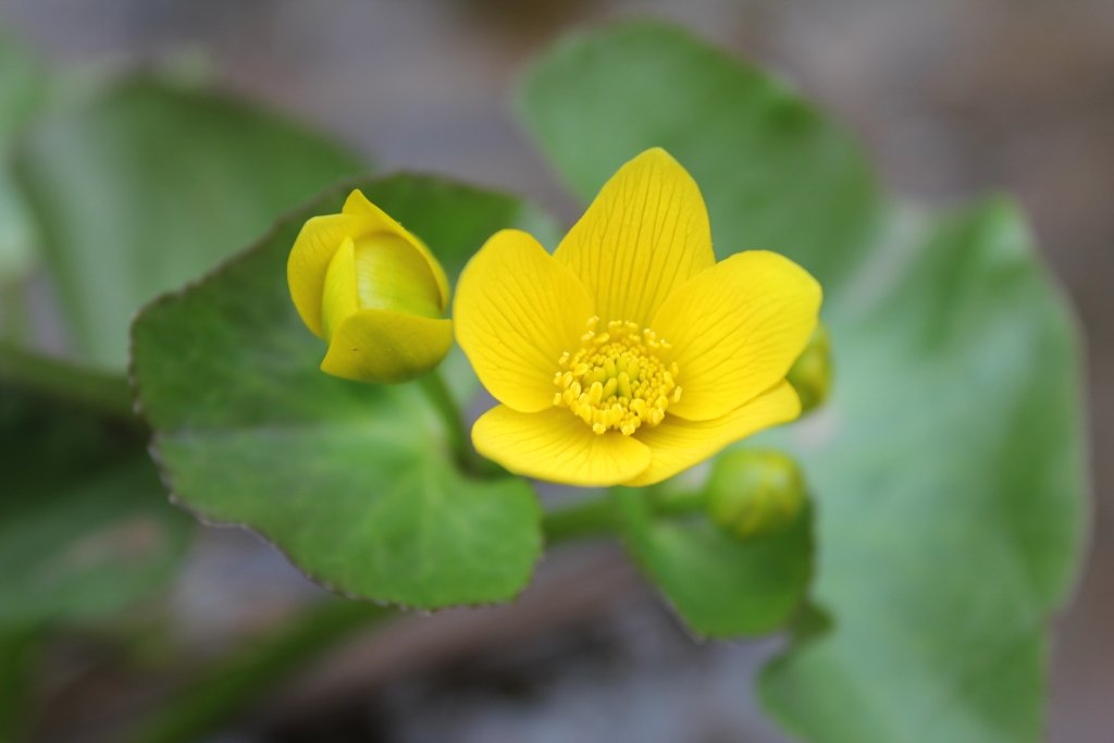 A yellow flower with green leaves