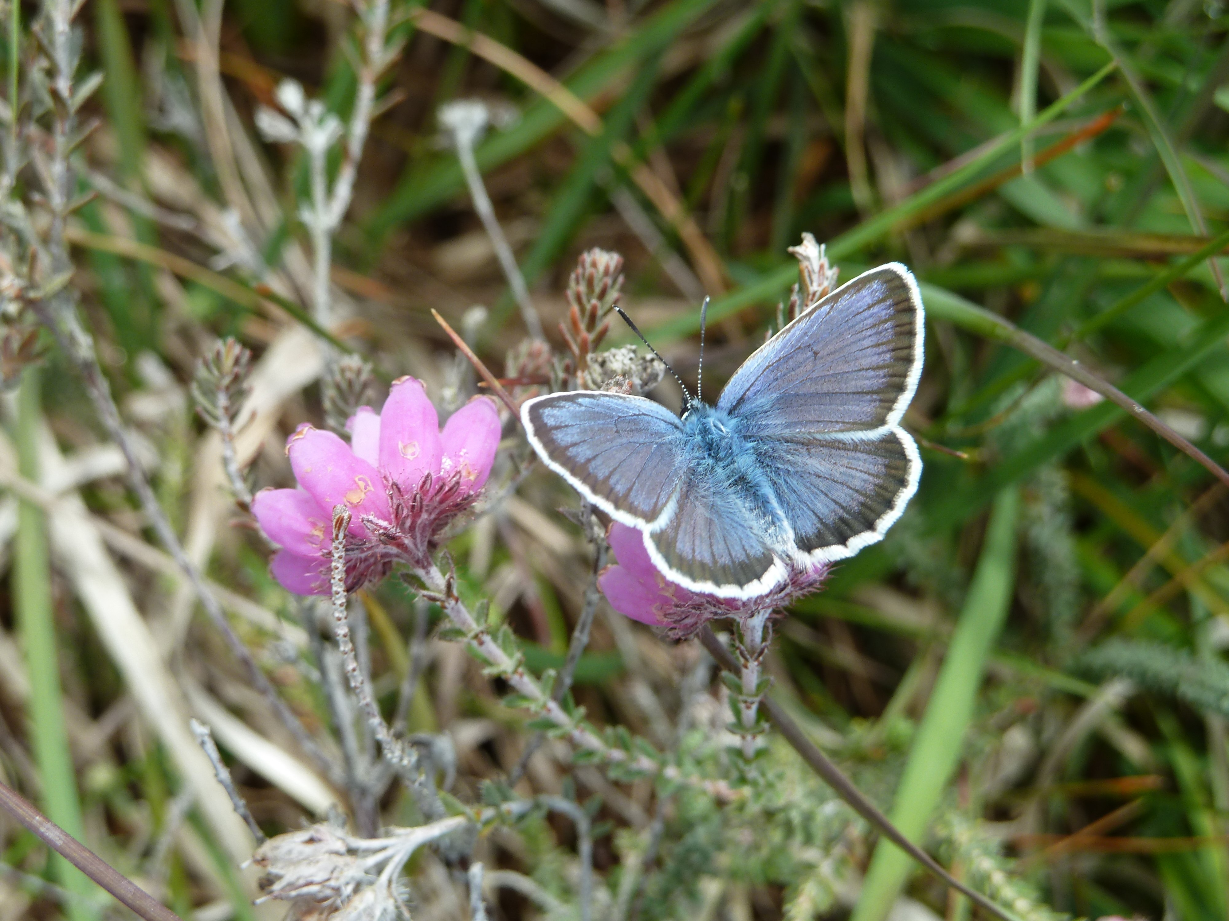 Male silverstudded blue butterfly at Strodgemoor Bottom