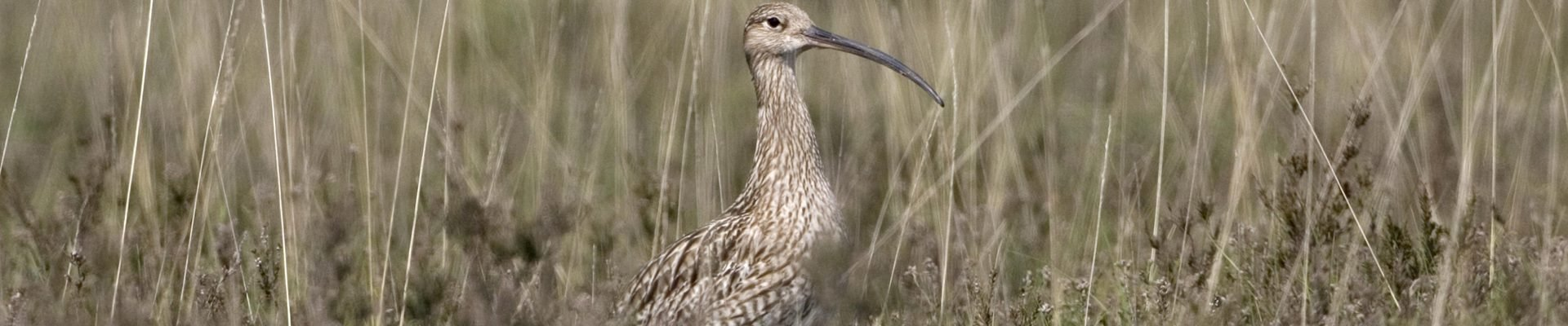 Eurasion Curlew on New Forest heathland