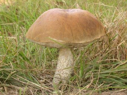 Leccinum scabrum, Brown Birch Bolete