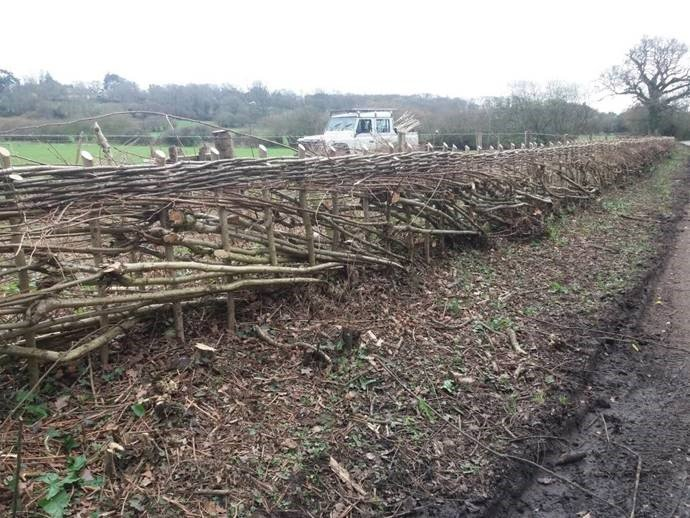After - laid hedge in hyde