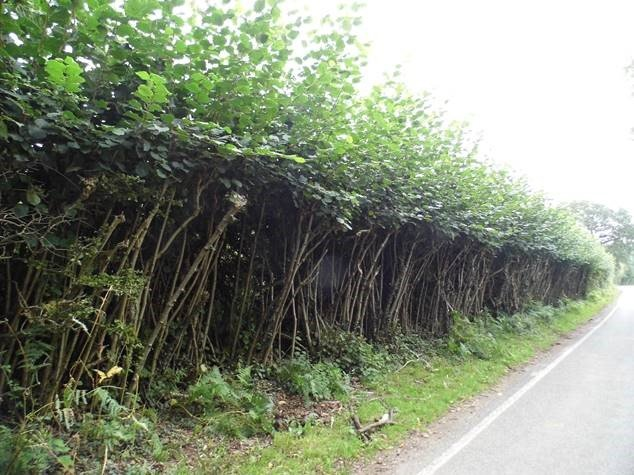 Before - overgrown hedge in hyde