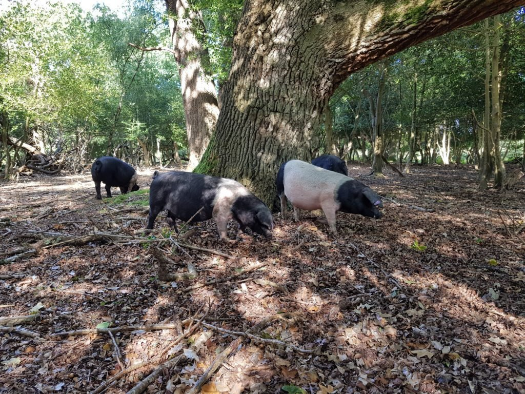 A picture of pigs foraging below trees in the New Forest