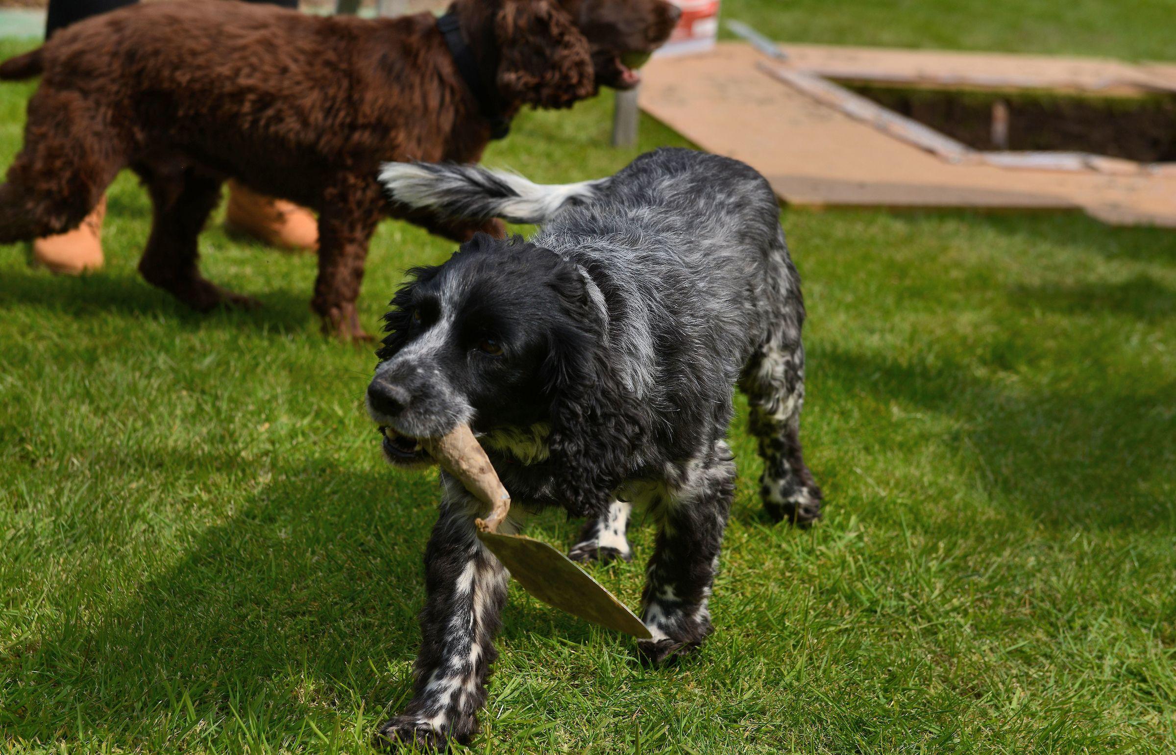 Dig Burley dog