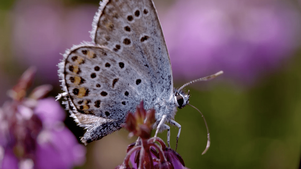 Silver Studded Blue Screen Shot New Forest