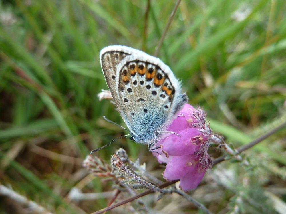 Male silverstudded blue