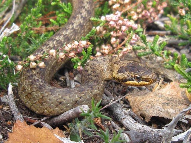 A smooth snake credit Stuart Woodley