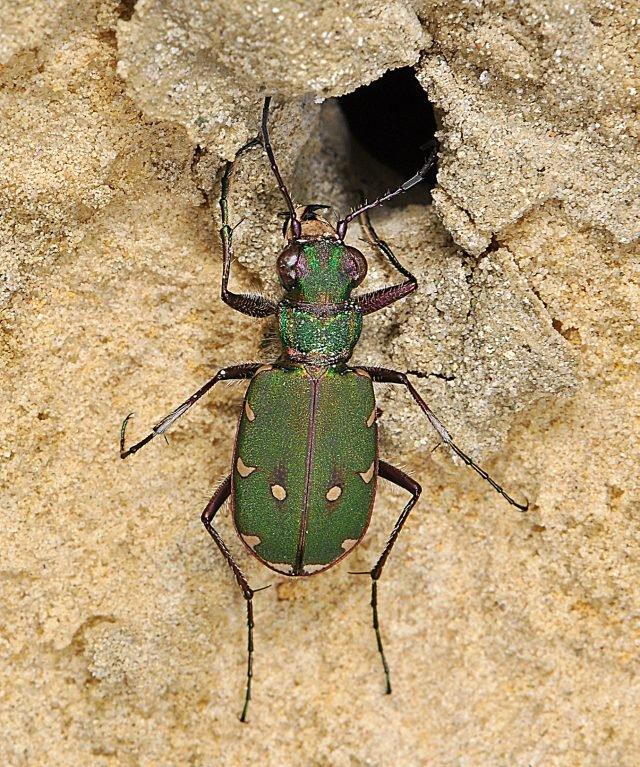 Green Tiger Beetle, Credit Paul Brock