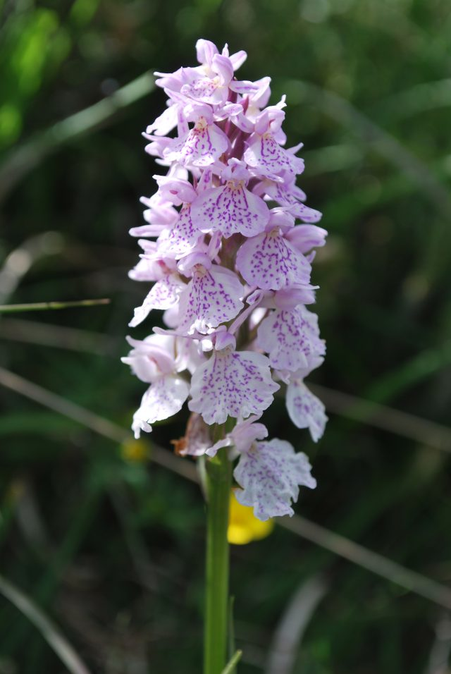 Heath Spotted Orchid, Beaulieu Heath, Credit Clive Chatters