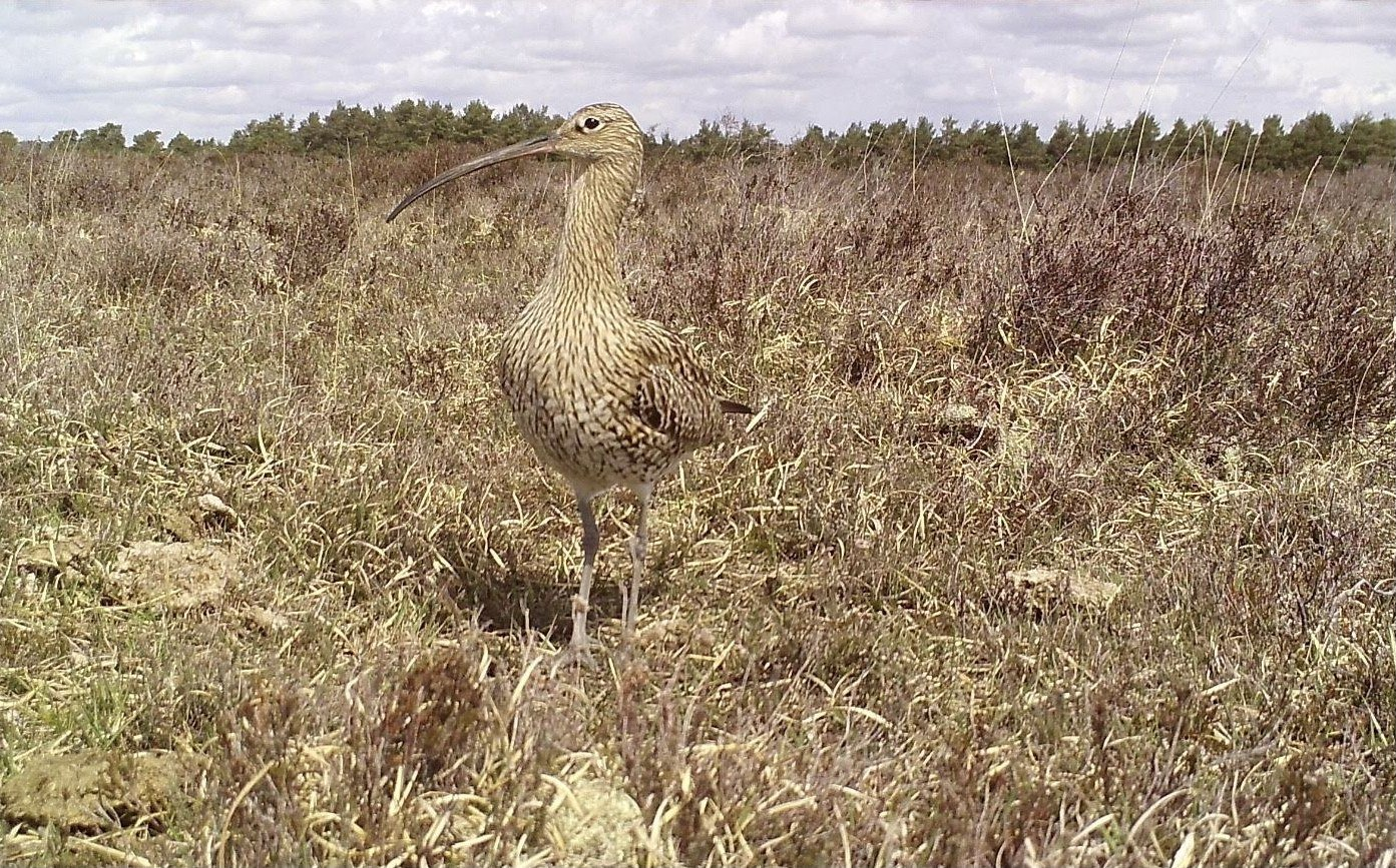 Curlew at nest credit Elli Rivers